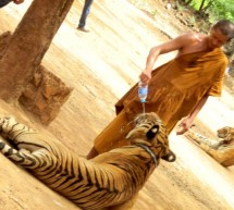 Tiger Temple – Walking with Tigers in Thailand